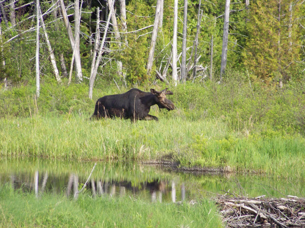 Moose tours at NEOC